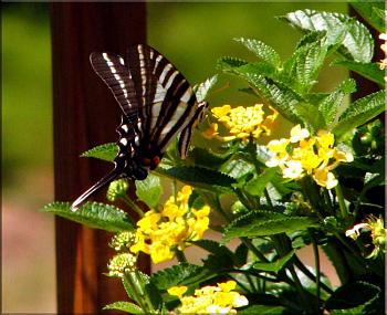"Lets look at some ""butterflies"" and other insects-img_7055-copy.jpg"