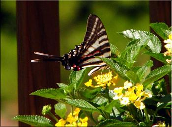 "Lets look at some ""butterflies"" and other insects-img_7056-copy.jpg"
