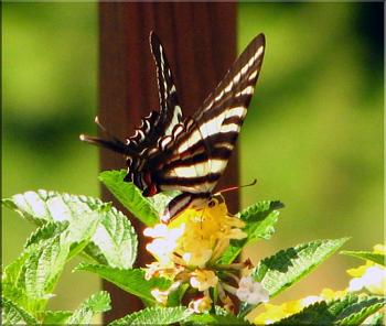 "Lets look at some ""butterflies"" and other insects-img_7057-copy.jpg"