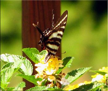 """Lets look at some """"butterflies"""" and other insects-img_7058-copy.jpg"""