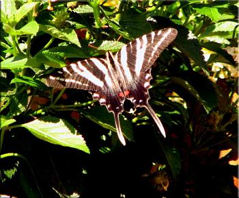 "Lets look at some ""butterflies"" and other insects-img_7151-copy.jpg"