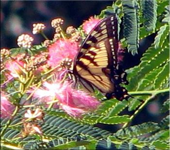 """Lets look at some """"butterflies"""" and other insects-eastern-tiger-swallowtail-butterfly-1.jpg"""