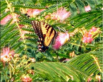 "Lets look at some ""butterflies"" and other insects-eastern-tiger-swallowtail-butterfly-2.jpg"