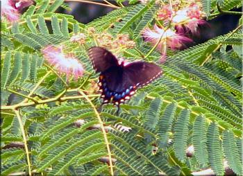 """Lets look at some """"butterflies"""" and other insects-eastern-tiger-swallowtail-butterfly-black-3.jpg"""