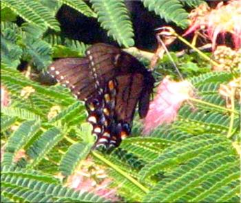"""Lets look at some """"butterflies"""" and other insects-eastern-tiger-swallowtail-butterfly-black-4.jpg"""