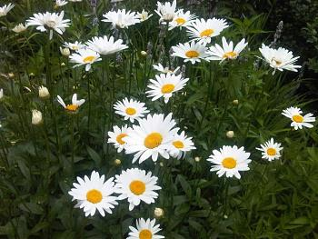 """Everybody loves """"flowers"""" and """"trees""""......let's share-add yours!-daisy.jpg"""