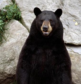 WILDLIFE pics . . . post em if ya gottum-bear-grandfather-mtn-tim-floyd-779608.jpg