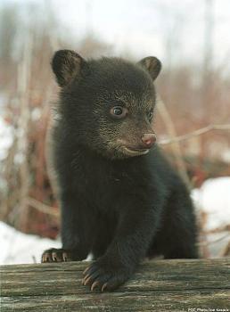 WILDLIFE pics . . . post em if ya gottum-black_bear_cub.jpg