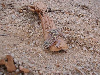 WILDLIFE pics . . . post em if ya gottum-lizzard-009.jpg