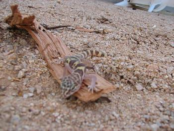 WILDLIFE pics . . . post em if ya gottum-lizzard-010.jpg