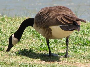 """How about your """"bird"""" photos.....here's a few of mine.-geese-canadian-april-5-2007-23-.jpg"""