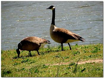 """How about your """"bird"""" photos.....here's a few of mine.-pair-mated-canadian-geese-seen-along-upper-james-river-richmond-virginia.jpg"""