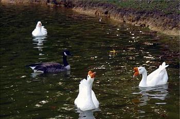 "How about your ""bird"" photos.....here's a few of mine.-three-geese-duck-dorey-park-richmond-va-2-copy.jpg"