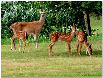 Deer face cropped-mother-family-neighborhood-apple-tree-2592.jpg