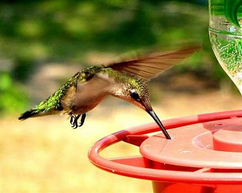 "How about your ""bird"" photos.....here's a few of mine.-female-ruby-throated-hummingbird.jpg"