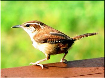 "How about your ""bird"" photos.....here's a few of mine.-carolina-wren-%3D.jpg"