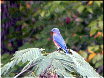 "How about your ""bird"" photos.....here's a few of mine.-bluebird.jpg"