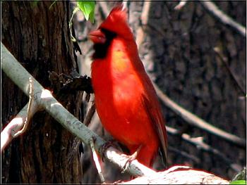 "How about your ""bird"" photos.....here's a few of mine.-cardinal-male-%3D.jpg"