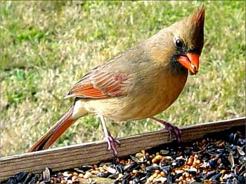 "How about your ""bird"" photos.....here's a few of mine.-cardinal-female-copy.jpg"