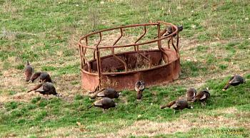"How about your ""bird"" photos.....here's a few of mine.-wild-turkeys-phhotographed-genesis-elder-care-nursing-home-24-copy.jpg"