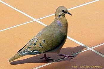 """How about your """"bird"""" photos.....here's a few of mine.-brown-dove-st.-lucia-wi.jpg"""