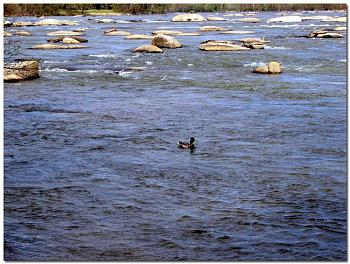 """How about your """"bird"""" photos.....here's a few of mine.-mallard-drake-duck-swimming-riffles-whitewater-upper-james-river-below-z-d.jpg"""