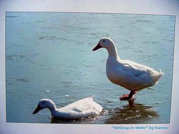 """How about your """"bird"""" photos.....here's a few of mine.-walking-water-copy.jpg"""
