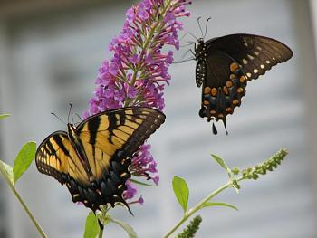 """Lets look at some """"butterflies"""" and other insects-img_6086.jpg"""