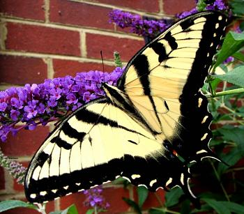 "Lets look at some ""butterflies"" and other insects-eastern-swallowtail-butterfly-butterfly-bush.jpg"