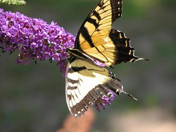 "Lets look at some ""butterflies"" and other insects-eastern-tiger-swallowtail-l-butterfly-1-.jpg"
