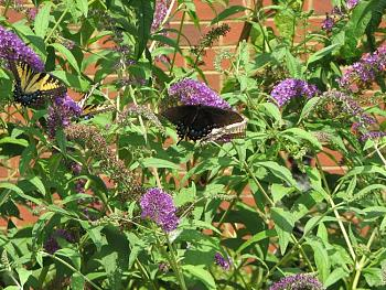 """Lets look at some """"butterflies"""" and other insects-img_6122.jpg"""