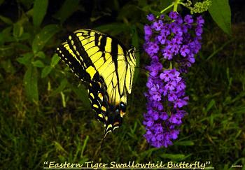 "Lets look at some ""butterflies"" and other insects-eastern-tiger-swallowtail-butterfly-25.jpg"