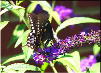 "Lets look at some ""butterflies"" and other insects-black-eastern-tiger-swallowtail-butterfly-butterfly-bush.jpg"