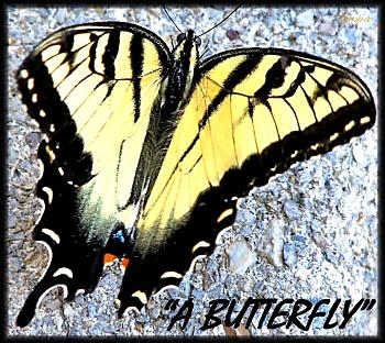 "Lets look at some ""butterflies"" and other insects-eastern-tiger-swallowtail-butterfly-1..jpg"
