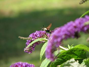 "Lets look at some ""butterflies"" and other insects-img_0110.jpg"