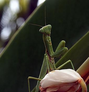 "Lets look at some ""butterflies"" and other insects-a_praying_mantis_in_kona.jpg"