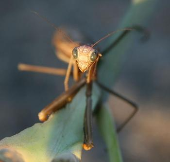 "Lets look at some ""butterflies"" and other insects-brown_praying_mantis_archimantis_latistyla.jpg"