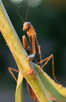 "Lets look at some ""butterflies"" and other insects-brown_praying_mantis_archimantis_latistyla_-1132-_-_relic38_.jpg"