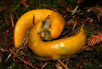 """Lets look at some """"butterflies"""" and other insects-banana_slugs_mating.jpg"""