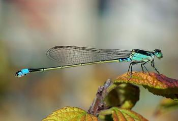 """Lets look at some """"butterflies"""" and other insects-damselfly_october_2007_osaka_japan.jpg"""
