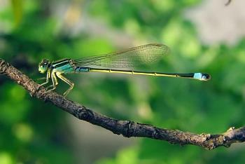 """Lets look at some """"butterflies"""" and other insects-damselfly_september_2007_osaka_japan.jpg"""