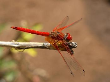 """Lets look at some """"butterflies"""" and other insects-dragonfly-red.jpg"""