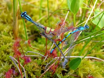 """Lets look at some """"butterflies"""" and other insects-drosera_anglica_ne2a.jpg"""