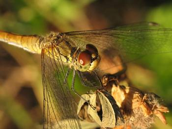 """Lets look at some """"butterflies"""" and other insects-img_3140_odonata_a.jpg"""