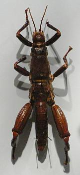 """Lets look at some """"butterflies"""" and other insects-lord-howe-island-stick-insect.jpg"""