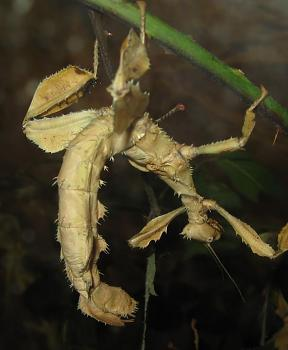 """Lets look at some """"butterflies"""" and other insects-macleays_spectre_stick_insect.jpg"""
