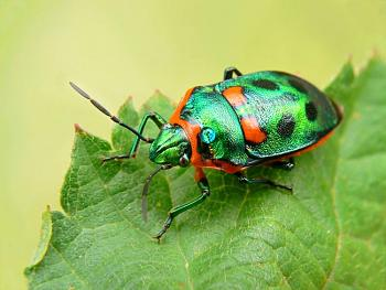 """Lets look at some """"butterflies"""" and other insects-metallic_shield_bug.jpg"""