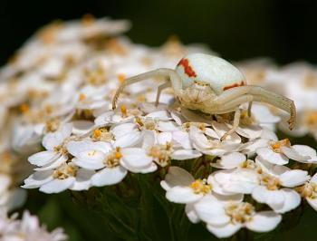 """Lets look at some """"butterflies"""" and other insects-misumena_vatia_female_luc_viatour_1a.jpg"""