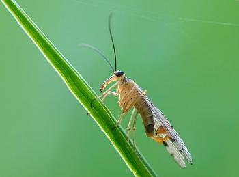 """Lets look at some """"butterflies"""" and other insects-panorpa_communis_2_luc_viatour.jpg"""