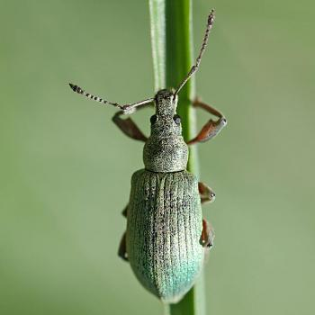 """Lets look at some """"butterflies"""" and other insects-phyllobius_calcaratus_spornblattrler_quadrat.jpg"""